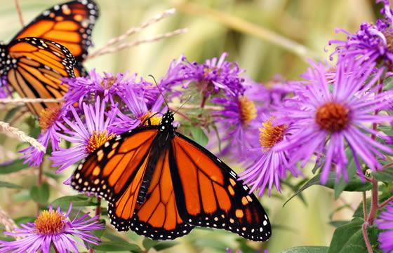 Butterflies540