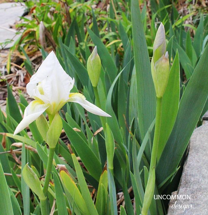 Home-Depot-Iris